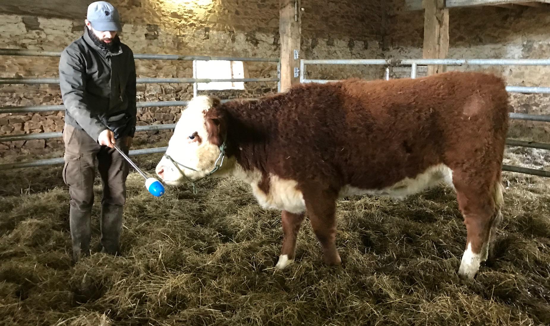 conseils aupr u00e8s d u0026 39  u00e9leveurs de vaches hereford